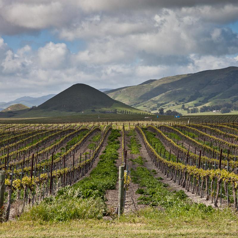 Grape Vines push new growth