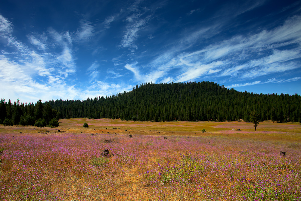 Fading Wild Flowers in High Sierra Meadow