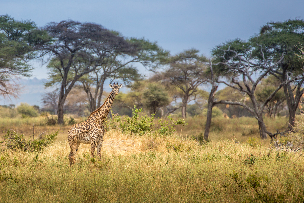 Casual Stroll in the African Plain